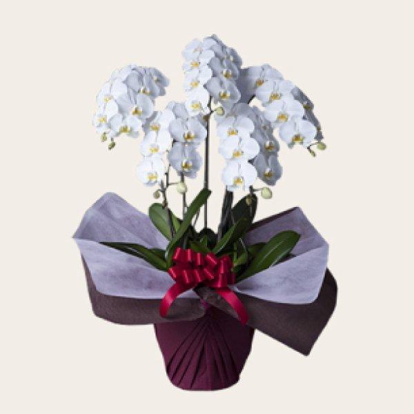 画像1: 胡蝶蘭(スタンダードタイプ)5本立 ホワイト (1)